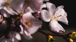 Astrologischer Frühling kirschbluete cherry blossoms