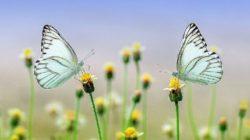 schmetterlinge-metamorphose-butterflies