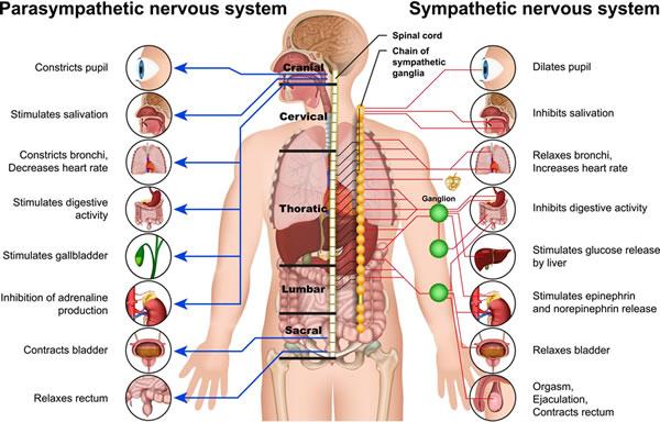 aufgaben-nervensystem-Adobe-Stock