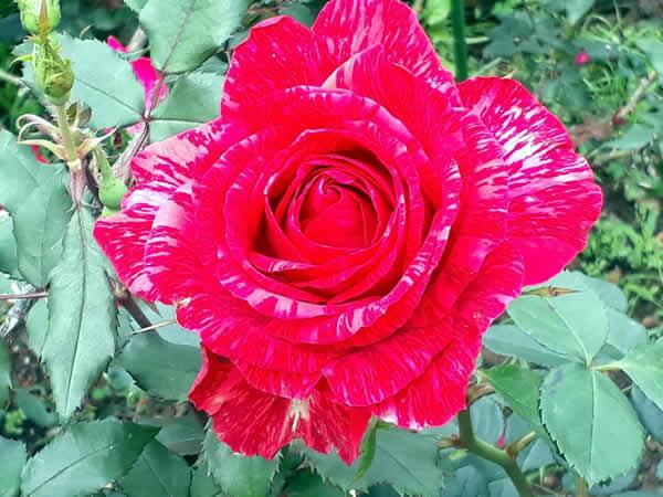 Shih-Yu Fang-rose
