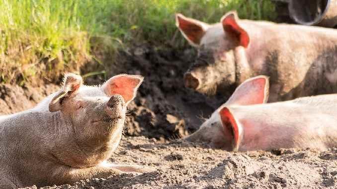 glueckliche-schweine-zukunftsvision-emanuell-charis