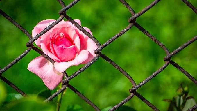 zaun-rose