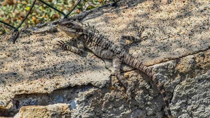 natur echse lizard