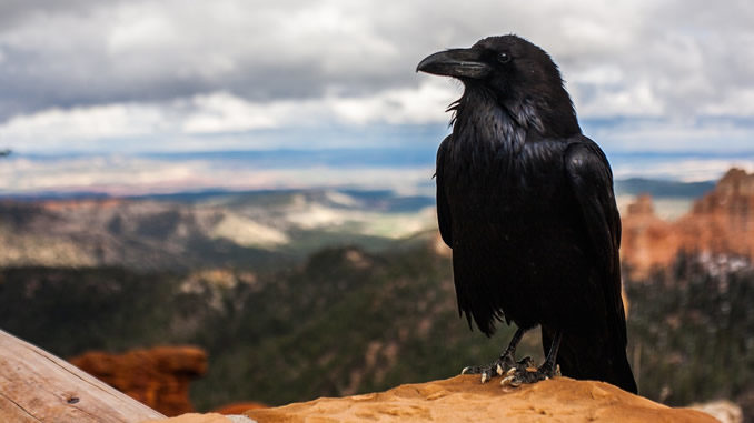 rabe-berge-crow